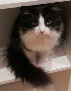 Katze Shiva